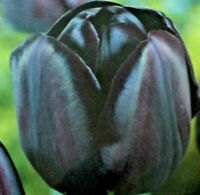 10,20,50 Blumenzwiebeln Tulpen Queen of the Night,schwarze Blüten,Liefertermin