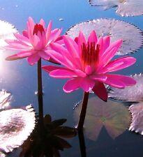Guter Filter : Tropische violette Seerose Nymphea für den Gartenteich / Samen ..