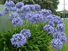 40 x Old Fashioned Blue Agapanthus Non Hybrid Seeds Heritage Cottage Garden 0.2