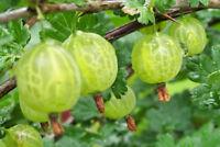 Ceylon Gooseberry Seeds Succulent Fruit Ceylon Gooseberry Seeds Showy KIDS Seeds