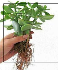 "Crassula Ovata Jade bonsai house office plant 4"" tall, bare root. Free Shipping"