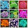 100 PCS Seeds Colorful Hosta Bonsai Flowers Plants Coleus Genus Garden Perennial