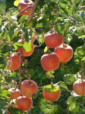 Honey Crisp Apple Tree Plant 5 Seeds
