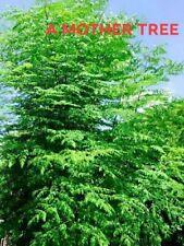 "2"" Dia 24"" Moringa Oleifera Drumstick Cutting Miracle Mothers Tree of Life Stem"