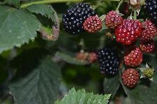1 PLANT - Blackberry – variety 'Ouachita'