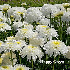 CRAZY DAISY DOUBLE - 200 SEEDS - Chrysanthemum leucanthemum - PERENNIAL FLOWERS