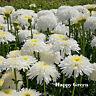 CRAZY DAISY DOUBLE - 200 SEEDS - Chrysanthemum leucanthemum - PERENNIAL FLOWERS