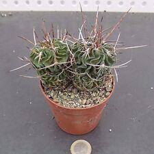 Echinofossulocactus lamellosus hastatus cm. 12 einschließlich dornen