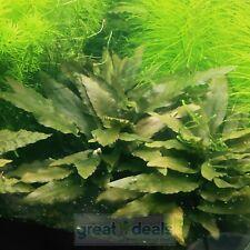 Live Plant Cryptocoryne Cordata Small Cutting Planted Tank Crypto Aquatic Ada