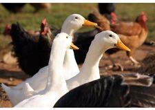 * 100 g * AMAZON PRO  Wurmkur / Entwurmung ohne Chemie für Hühner Gänse & Co.