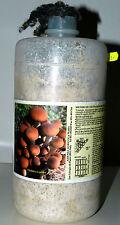 Micelio Fresco di Fungo (un barattolo da lt.2,5): Varietà  Pioppino