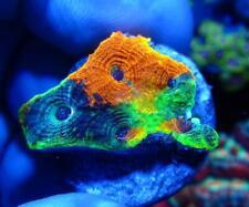 Live Coral Dreef Agent Orange Acan Echinata, Acanthastrea Wysiwyg Frag