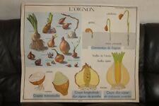 1950 AFFICHE D'ECOLE ROSSIGNOL MONTMORILLON 17.L'OIGNON-18.LA GERMINATION
