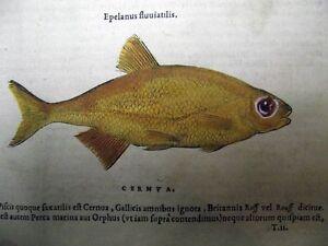 Gravure de poisson coloré année 1555