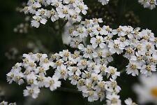 Garden Perennial Seeds For Sandy Soils Summer Flowering UK Native Wild Flowers