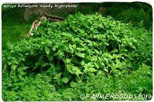 Atropa belladonna 'Deadly Nightshade' [Ex. North Yorkshire] 200 SEEDS