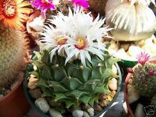 Obregonia denegrii  antichoke plant exotic slow grow rare cactus seed 10 SEEDS