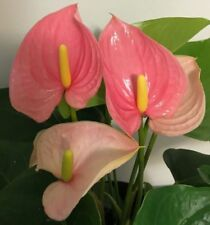 "Anthurium 'Alabama Pink' - Established Plant 6"" Pot - Absolutely Gorgeous!"