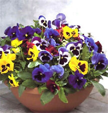 FD1583 Pansy Seed Mix Color Wavy Viola Tricolor Garden Flower ~1 Pack 30 Seeds✿