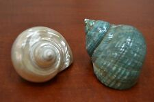 """2 PCS MOTHER OF PEARL JADE TURBO SEA SHELL HERMIT 3 1/2"""" - 4"""" #7063/66"""