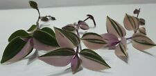 Three Different Rooted Tradescantia Cuttings - Tricolor, Variegata & Green Hill