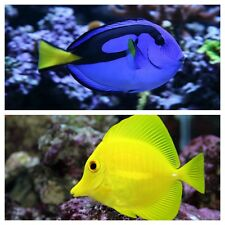 YELLOW TANG SMALL / BLUE HIPPO SMALL PACKAGE - SALTWATER FISH FREE SHIPPING