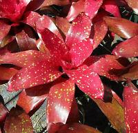 BROMELIAD Neoregelia TREASURE CHEST Sparkling Colorful Beauty! Gorgeous Plants!