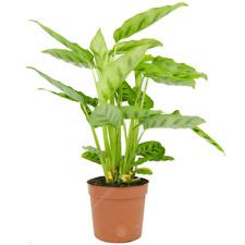 Calathea Leopardina Prayer Plant Live Decorative Indoor Houseplant in 12cm Pot