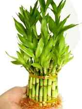 Lucky Bamboo live Plant For Feng Shui 3 Tier flowering decoration Houseplant