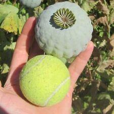 1.000 seeds  - The Giant - Papaver Somniferum  Giganteum - 0,4 grams