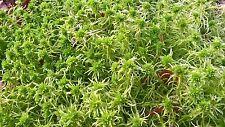 2kg SPHAGNUM MOSS, AMPHIBIANS,REPTILES, VIVARIUM, TERRARIUM, ORCHIDS, PLANTS
