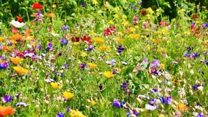 Blumen Mischung Samen Bienenweide Sommerzauber Blütenmeer Mohn Wiese Wildblumen