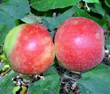 Apfel-Pflanzen