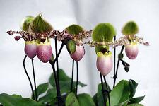 Paphiopedilum Pinocchio, Revolverorchidee, blühend, Frauenschuh, 10,5cm Topf o