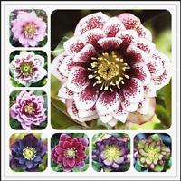 100 PCS Seeds Helleborus Plants Winter Rose Flowers Rare Bonsai Garden NEW 2018