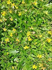 Goodenia humilis in 75mm supergro tube native plant