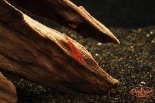 25 Live Red Cherry Shrimp + 2 Marimo Moss Balls - Live Aquarium Fish Yellow
