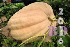 """Calabaza """"Atlantic Giant"""" - Dulce-Delicioso - 10 semillas-Embalaje Original _ 83"""
