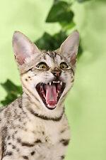 Ansichtskarte: Der Schrei - erschrockene Savannah - Katze
