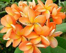 """COUNTRY CURRY"" FRAGRANT PLUMERIA CUTTING WITH ROOTED 7-12"" WITH CERTIFICATION"