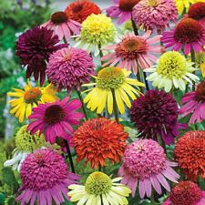 50 Double Mix Coneflower Seeds Echinacea Flower Perennial Flowers 23 Us Seller