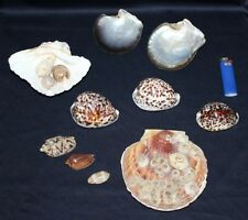 Large Sea Shells Scallop, Clam Shell, Cowries & Volutes