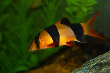 "Clown Loach medium 2.5-3"" live freshwater aquarium fish ���"