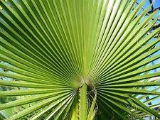 Washingtonia filfera - Cotton palm -Desert fan palm -1000 Seeds bulk pkt