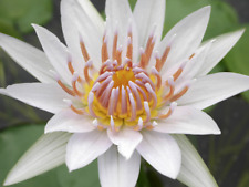 Nymphaea White Thammanoon Live Tropical Water Lily Tuber Rhizome Buy2Get1Free*