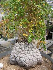 Autumn Fruit Plant Seeds
