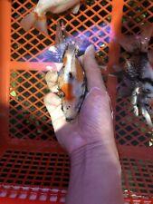 Live gold  fish  ryukin 5 Inch for fish tank, koi pond or aquarium