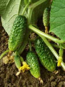 CUCUMBER GHERKIN POLAN early rich crops - 25 SEEDS (Ogorek Polan)