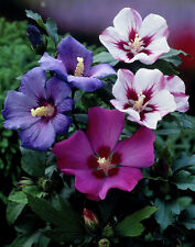 20-SEMI -Hibiscus syriacus IN MIX