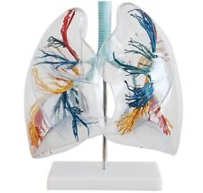 NEW transparent lung anatomy anatomical model medical teaching 66